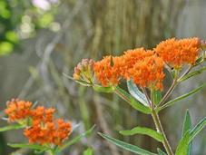 Tale Plants Butterfly Weed Swamp Milkweed