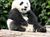 Panda Poop Biofuels Future!