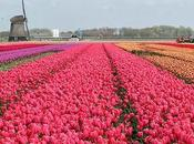 Marvel Holland's Technicolor Tulip Fields