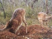 Opportunity Control Strategies Feral Deer