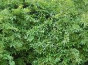 Plant Week: Ligustrum Obtusifolium