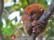 Kissed Smallest Monkey World Called Tarsier