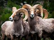 Rocky Mountain Bighorn Sheep Band Brothers, Animal Photography, Colorado