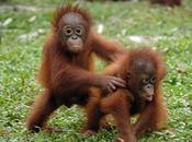 Please Help... Trilogy Campaign Save Endangered Orangutans Borneo!