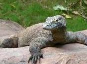 Featured Animal: Komodo Dragon
