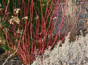 Twig Dogwood 'Arctic Fire'