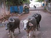 Roaming Buffaloes Triplicane Missing Ones Uttar Pradesh