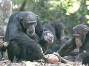 Panthropology Reveals 4,300 Year Chimp Site