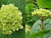 Favourite Plant Hydrangea