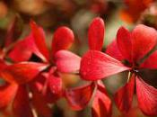 Plant Week: Berberis Thunbergii