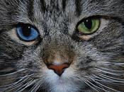 Heterochromia Cats