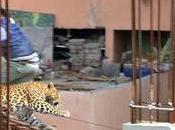 Wild Leopard Rages Through Major City