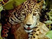 Jaguar Habitat Protected