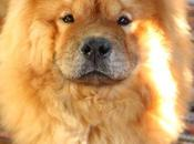 Breed Gallery: Chow