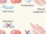 Mechanism Muscle Decay Aging, Reversal.