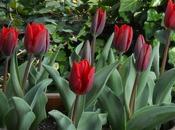 Return Tulips!