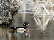 Outstanding Spring Weekend Wood Ducks Wild Turkeys