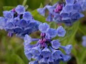Virginia Bluebells Mertensia Virginica