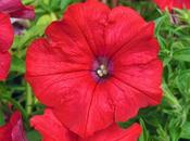Surfinia Petunia Plug Plants Hanging Baskets Spring