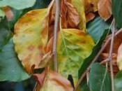 Plant Week: Fagus Sylvatica 'Pendula'