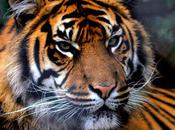 Should Give Tigers Pandas?
