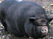 Vietnamese Pigs (Pot-bellied Pigs)