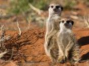 Compare Meerkat Call