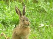 Featured Animal: Hare