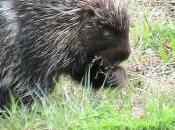 Featured Animal: Porcupine