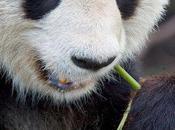 Pandas Love Bamboo???
