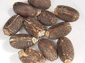 Jatropha Curcas- Biodisel from Seeds.