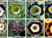 Match Your Friends Auricula