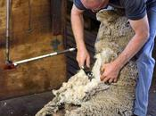 Sheep Killed, Punched, Stomped Wool