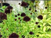 """Scabiosa Atropurpurea """"Chile Black"""""""