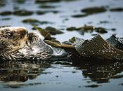 Another Reason Save Otters: They're Helping Fight Climate Change