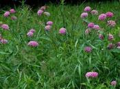 Purple Milkweed Asclpeias Purpurascens